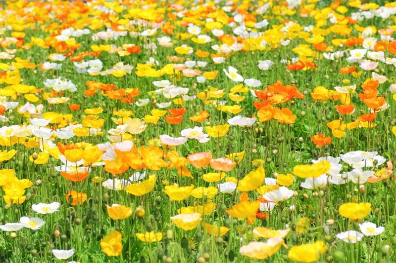 きれいなお花畑