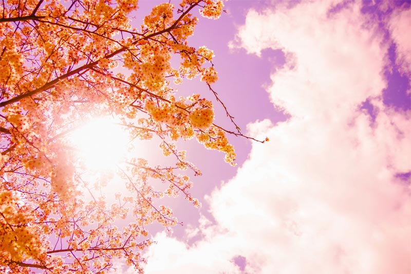 桜からこぼれる太陽の光